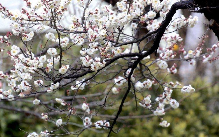цветы, природа, дерево, цветение, ветки, весна, flowers, nature, tree, flowering, branches, spring