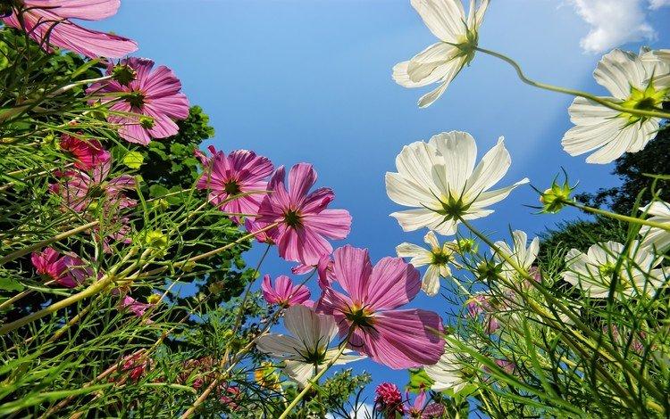 небо, розовые, цветы, белые, трава, зеленая, зелень, космея, макро, фон, поле, лепестки, the sky, pink, flowers, white, grass, green, greens, kosmeya, macro, background, field, petals