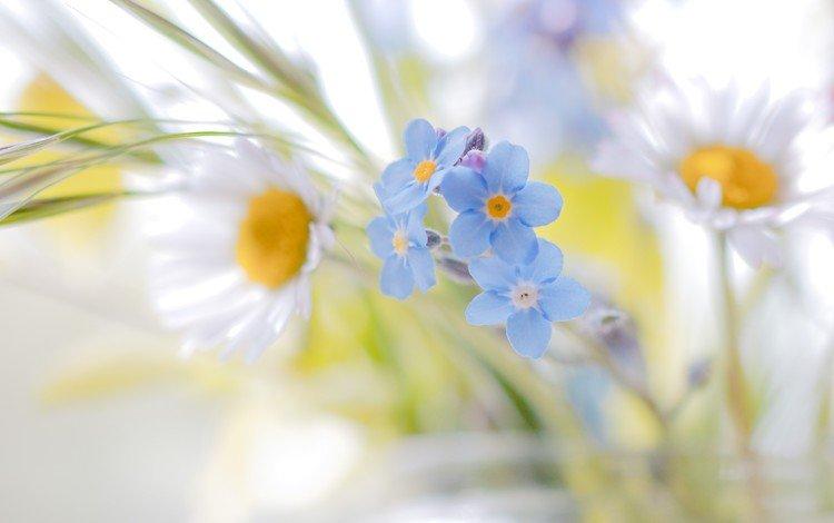 цветы, ромашки, белые, незабудки, голубые, полевые цветы, flowers, chamomile, white, forget-me-nots, blue, wildflowers