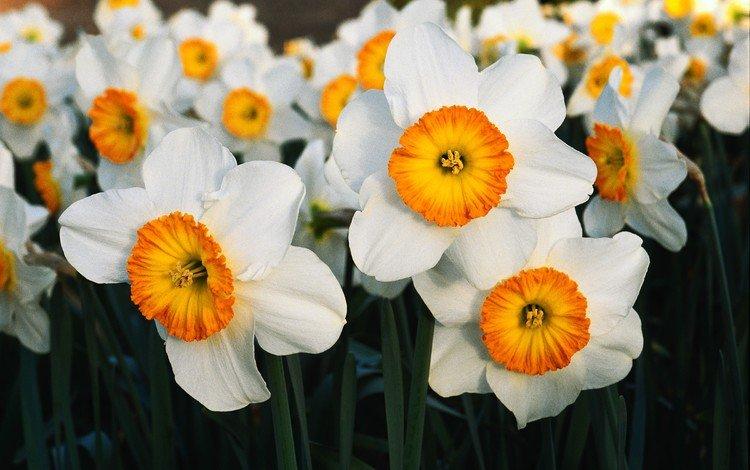 цветы, лепестки, весна, нарциссы, flowers, petals, spring, daffodils