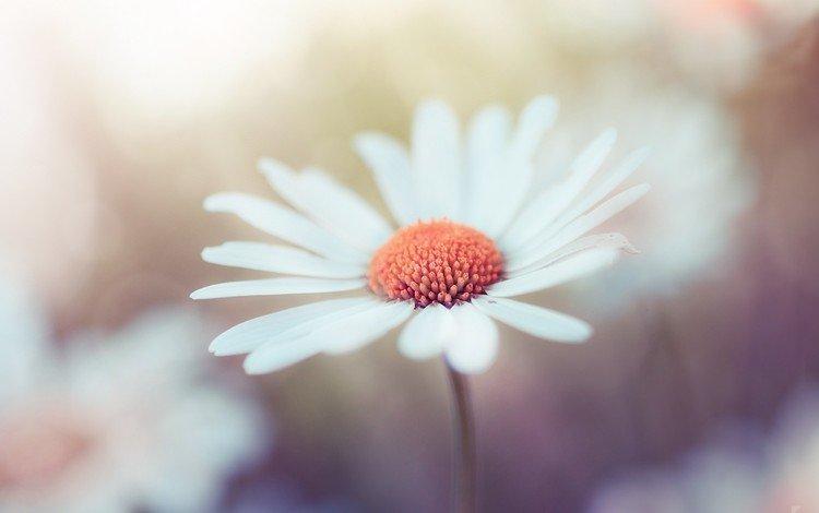 макро, цветок, лепестки, ромашка, robin de blanche, macro, flower, petals, daisy