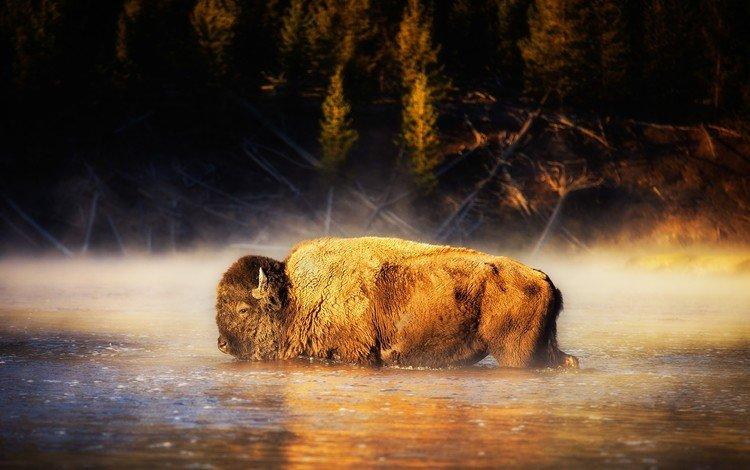 вода, природа, бизон, water, nature, buffalo