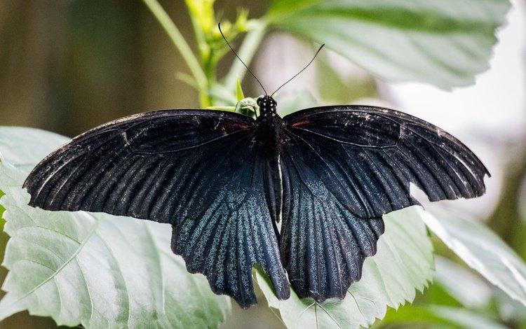 природа, листья, насекомое, бабочка, крылья, nature, leaves, insect, butterfly, wings