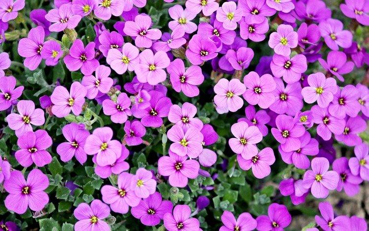 цветы, растения, лепестки, ковер, обриета, aubrieta, flowers, plants, petals, carpet, obrieta