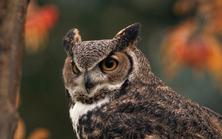 сова, лес, птица, большая рогатая сова, owl, forest, bird, great horned owl