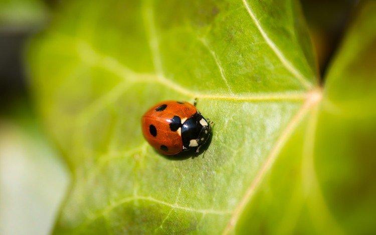 природа, жук, насекомое, божья коровка, зеленый лист, nature, beetle, insect, ladybug, green leaf