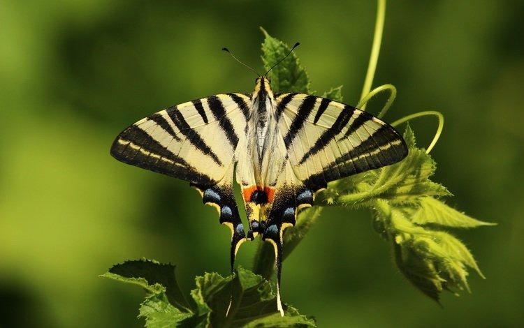 природа, листья, насекомое, бабочка, крылья, животное, растение, nature, leaves, insect, butterfly, wings, animal, plant