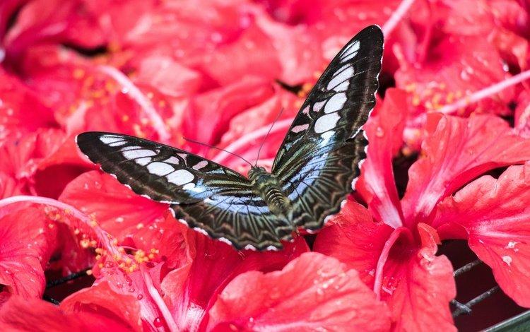 цветы, насекомое, бабочка, малайзия, гибискус, flowers, insect, butterfly, malaysia, hibiscus