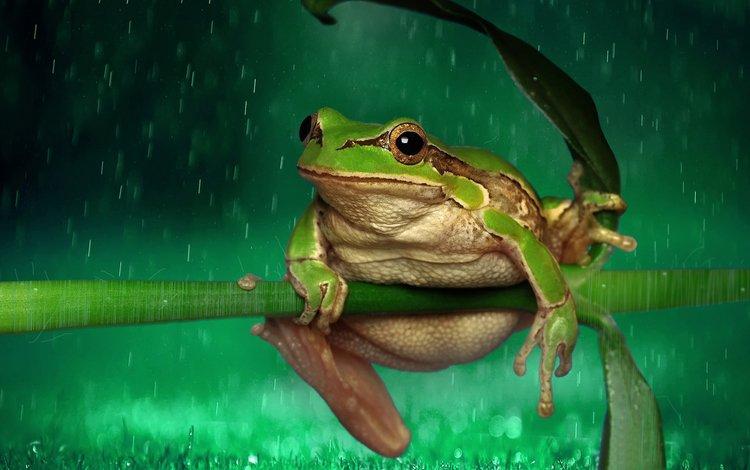 лягушка, дождь, растение, стебель, frog, rain, plant, stem