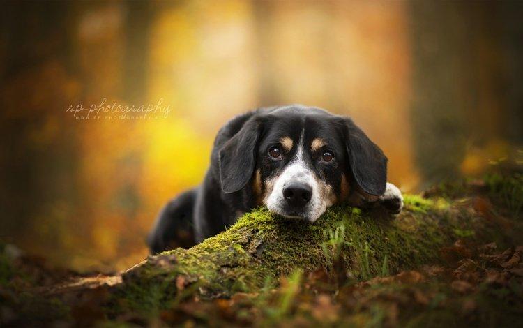 взгляд, осень, собака, швейцарский зенненхунд, ценок, look, autumn, dog, swiss mountain dog, zenok