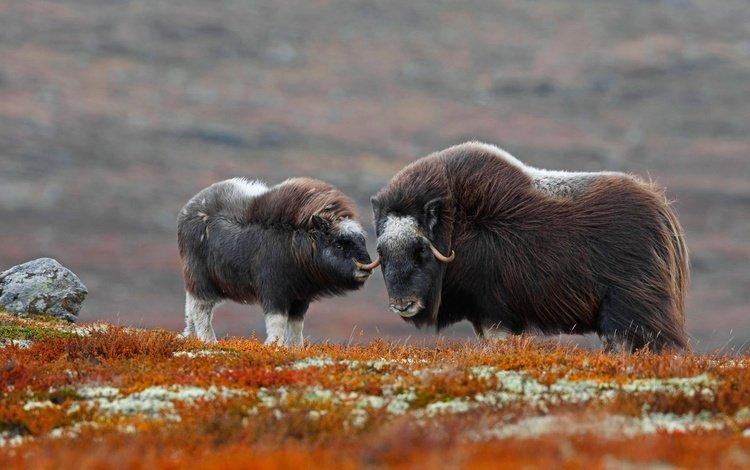 рога, детеныш, бизон, овцебык, зубр, horns, cub, buffalo, musk ox, bison