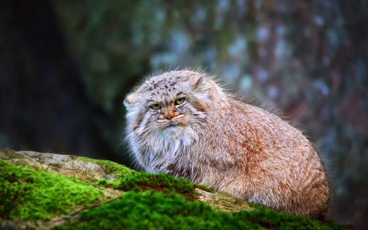 кот, манул, дикая кошка, cat, manul, wild cat