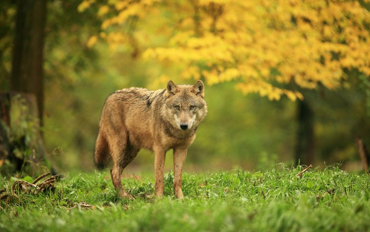 трава, деревья, лес, хищник, волк, grass, trees, forest, predator, wolf