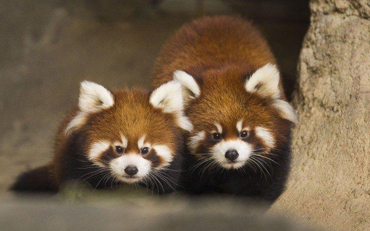 животные, панда, красная панда, animals, panda, red panda