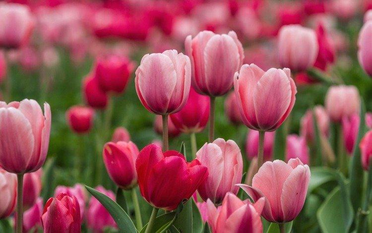 цветы, бутоны, лепестки, весна, тюльпаны, розовые, flowers, buds, petals, spring, tulips, pink
