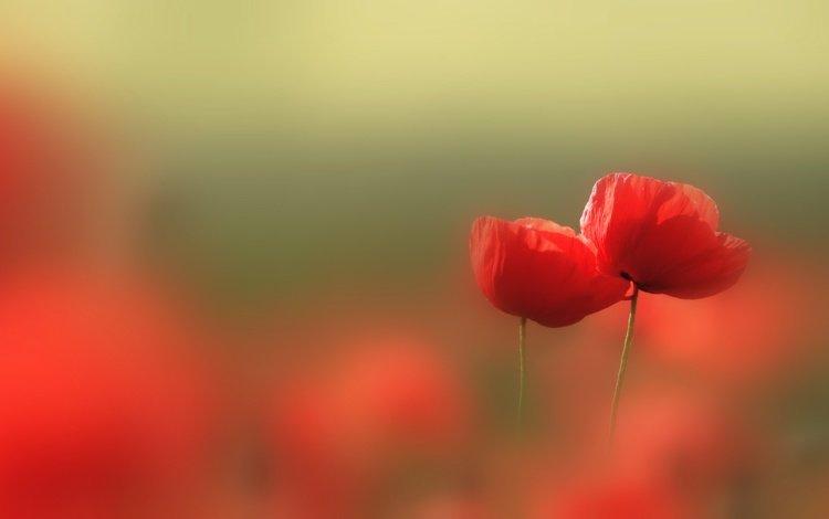 цветы, природа, красные, маки, размытость, flowers, nature, red, maki, blur