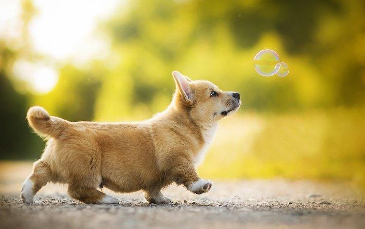 щенок, собачка, боке, мыльный пузырь, вельш-корги, корги, kappa, puppy, dog, bokeh, bubble, welsh corgi, corgi