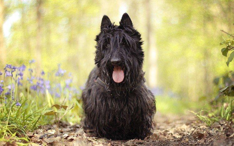 цветы, собака, язык, шотландский терьер, терьер, скотч-терьер, flowers, dog, language, scottish terrier, terrier, scotch-terrier