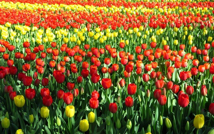поле тюльпанов, field of tulips