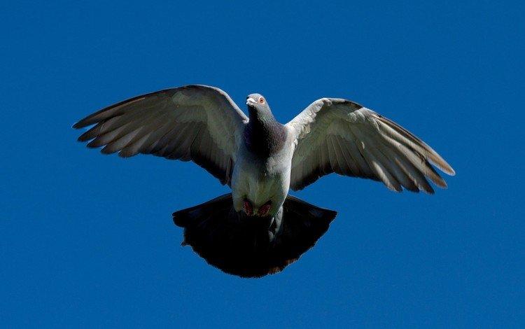 голубь, dove
