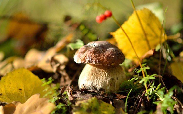 осень, белый гриб, autumn, white mushroom