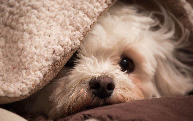 мордочка, собака, друг, одеяло, плед, уют, бишон, muzzle, dog, each, blanket, plaid, comfort, bichon