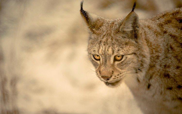 рысь, lynx