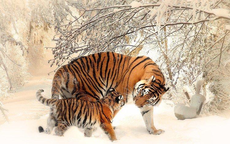 тигр, морда, деревья, снег, зима, хищник, тигренок, tiger, face, trees, snow, winter, predator