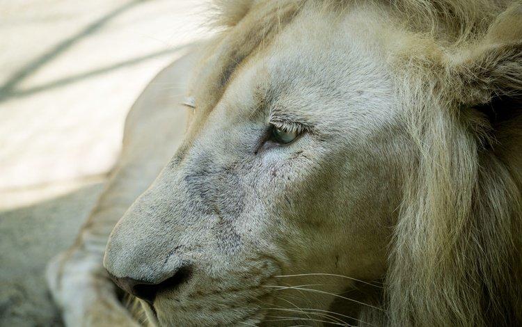 лев, leo