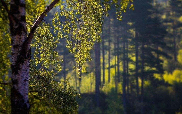 деревья, листья, береза, trees, leaves, birch