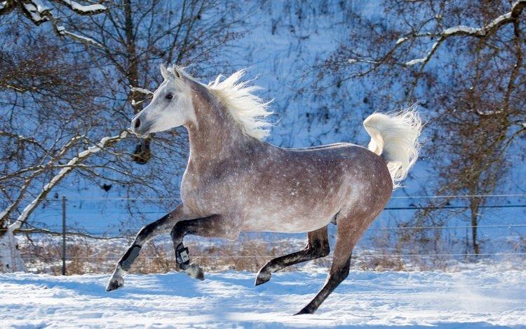 лошадь, снег, зима, конь, бег, скакун, horse, snow, winter, running