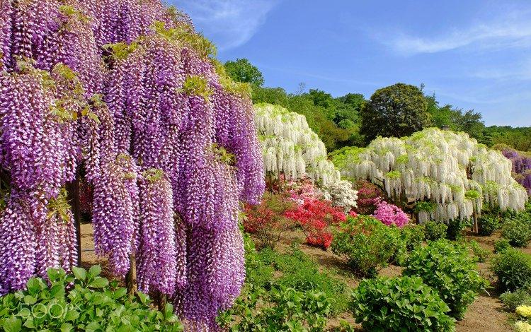 небо, цветы, деревья, парк, кусты, растение, глициния, вистерия, the sky, flowers, trees, park, the bushes, plant, wisteria