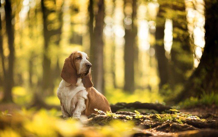 природа, взгляд, собака, бассет-хаунд, nature, look, dog, the basset hound