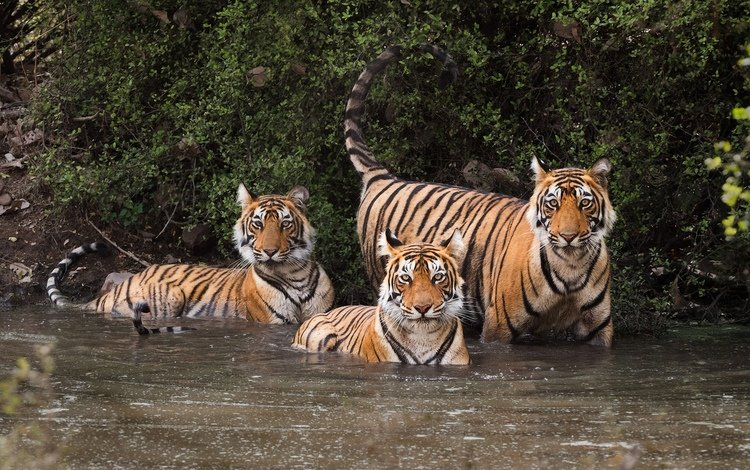 water, leaves, the bushes, predators, tigers, andrei vedernikov