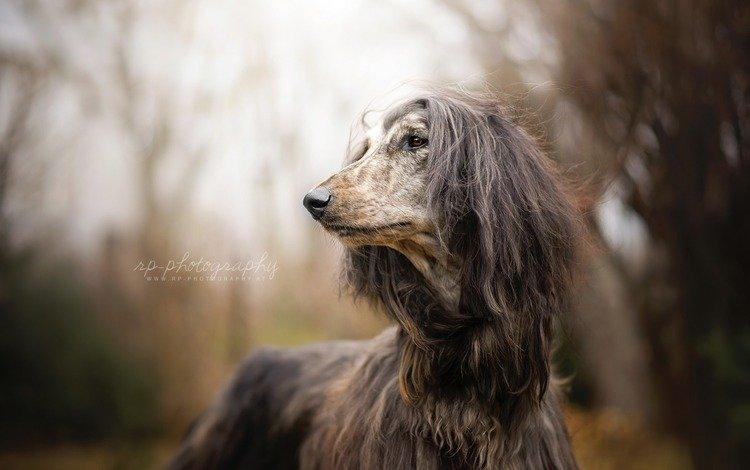 взгляд, собака, афган, афганская борзая, look, dog, afgan, the afghan hound