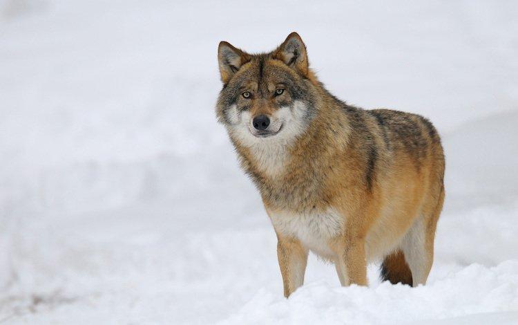 snow, winter, predator, wolf
