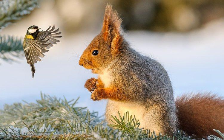 snow, winter, bird, protein, tit, squirrel
