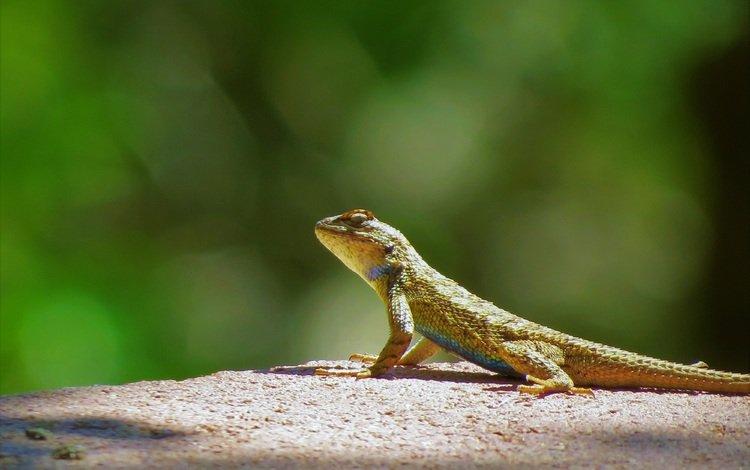 ящерица, lizard