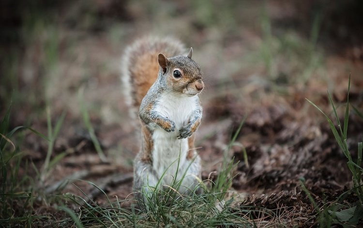 трава, белка, хвост, белочка, грызун, grass, protein, tail, squirrel, rodent
