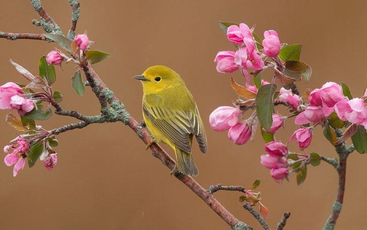 цветение, фон, ветки, птица, весна, яблоня, цветки, желтая древесница, flowering, background, branches, bird, spring, apple, flowers, yellow drevenica