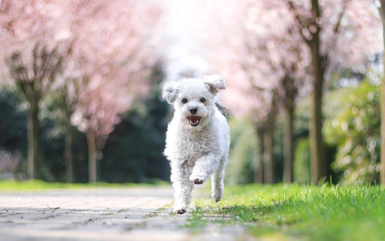 деревья, болонка, природа, цветение, собака, щенок, весна, белая, бежит, trees, lapdog, nature, flowering, dog, puppy, spring, white, runs