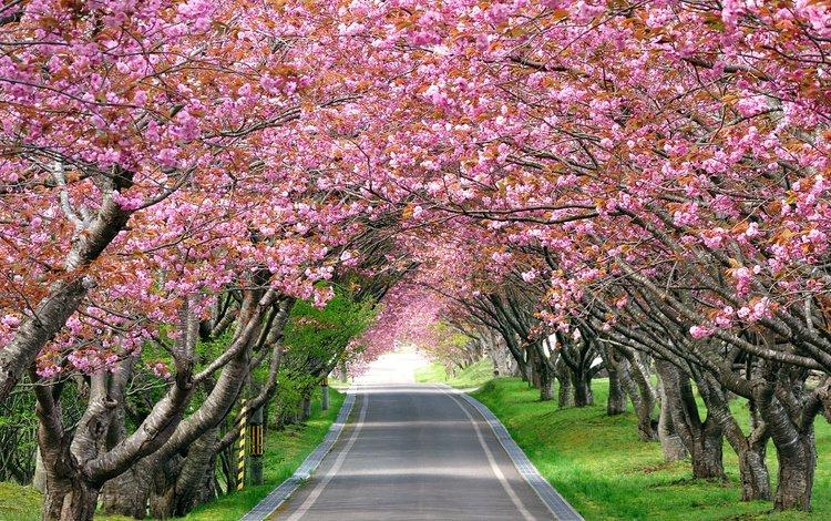 дорога, деревья, цветение, весна, road, trees, flowering, spring