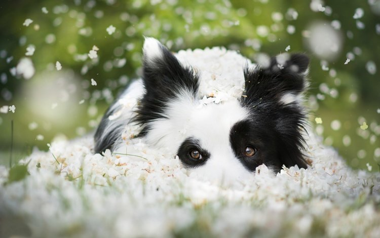 морда, цветы, взгляд, собака, боке, бордер-колли, face, flowers, look, dog, bokeh, the border collie
