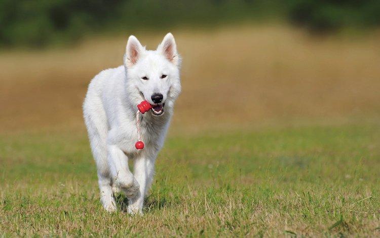 собака, овчарка, швейцарская овчарка, белая швейцарская овчарка, dog, shepherd, swiss shepherd dog, the white swiss shepherd dog