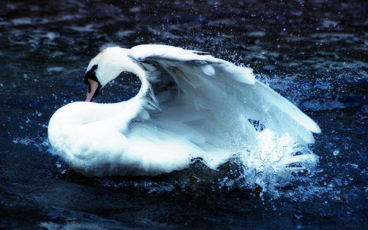 вода, птица, клюв, перья, плавание, лебедь, брызги воды, water, bird, beak, feathers, swimming, swan, water splashes