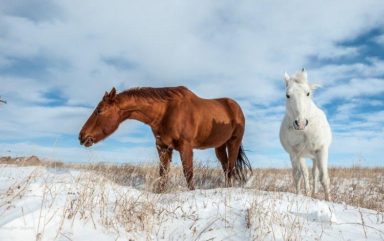 небо, облака, снег, поле, лошади, кони, пасутся, the sky, clouds, snow, field, horse, horses, grazing
