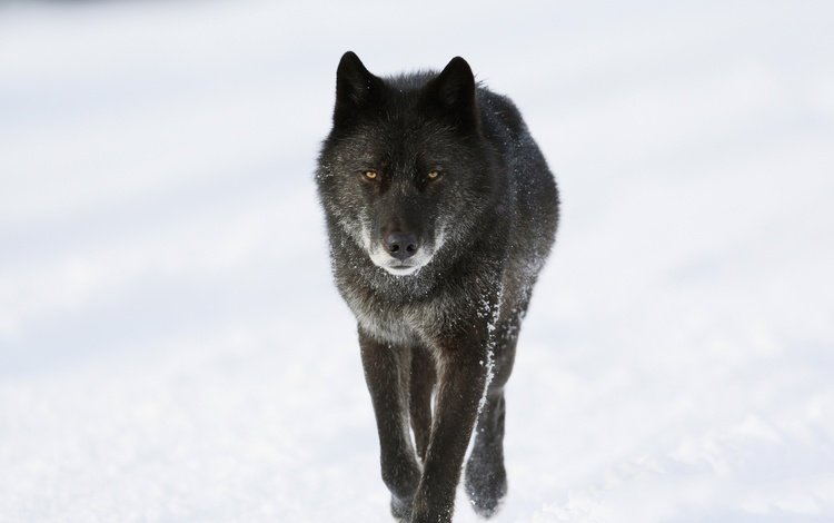 face, snow, winter, look, predator, animal, canada, wolf