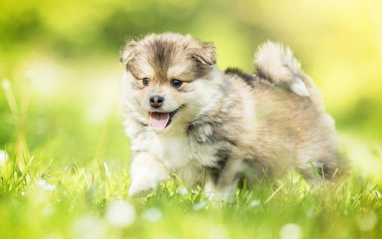 трава, собака, щенок, прогулка, малыш, щенка, боке, cобака, финский лаппхунд, grass, dog, puppy, walk, baby, bokeh, finnish lapphund