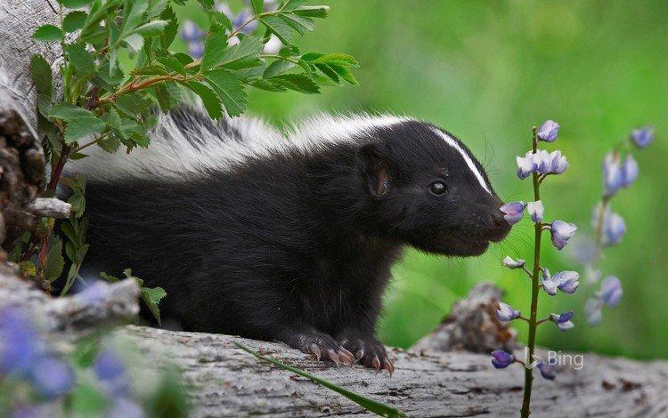 flowers, nature, animal, skunk, skunks