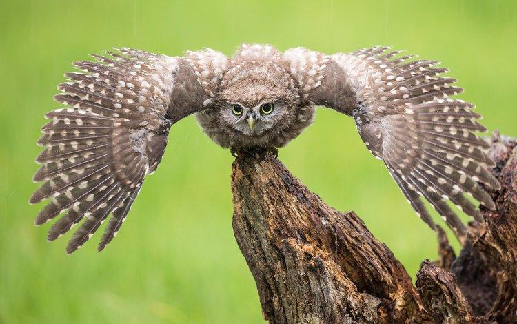 owl, wings, predator, bird